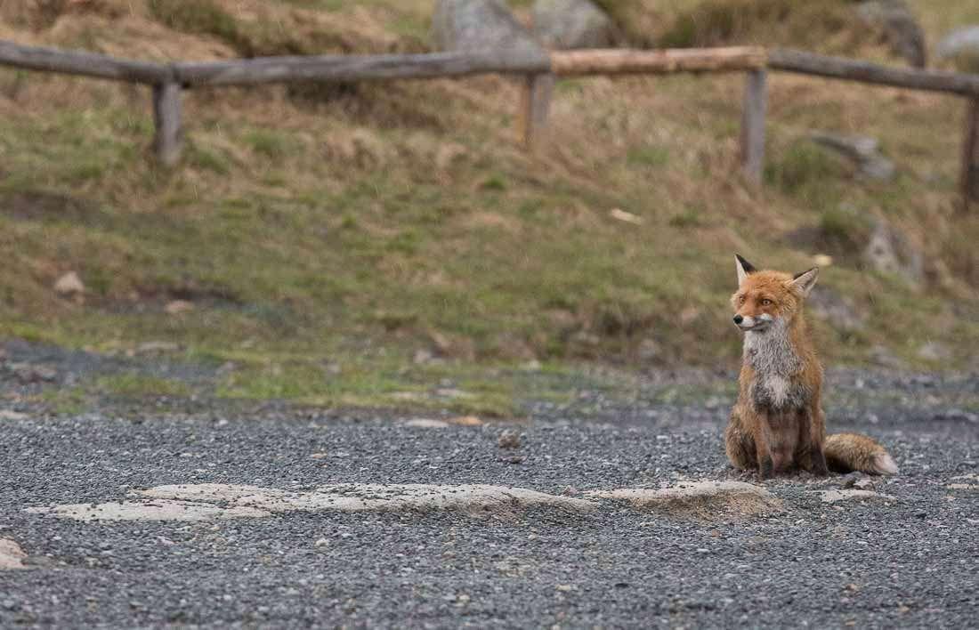 Brockenfuchs, Harz, Fuchs