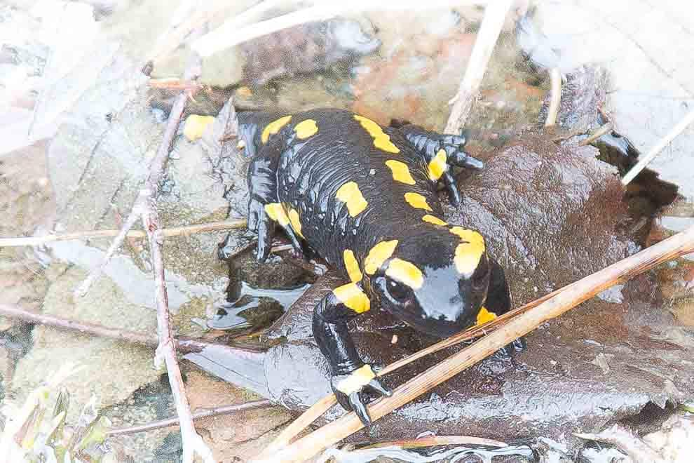 Discover the fire salamander in the Ilsetal with the ranger